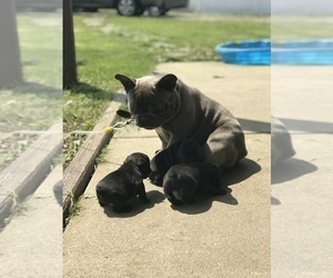 French Bulldog Litter for sale in NEW CASTLE, PA, USA
