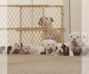 Bulldog Litter for sale in CHANDLER, AZ, USA