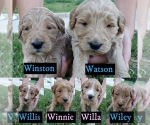 Goldendoodle Litter for sale in BRIARCLIFF, TX, USA