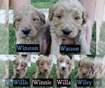 Goldendoodle Puppy For Sale in BRIARCLIFF, TX, USA
