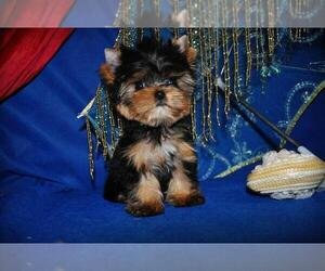 Yorkshire Terrier Litter for sale in KENOSHA, WI, USA