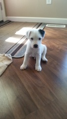 Parson Russell Terrier Litter for sale in BONNIE, IL, USA