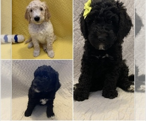 Double Doodle Litter for sale in ARLINGTON, WA, USA