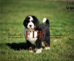Bernedoodle Litter for sale in BOWLING GREEN, OH, USA