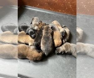 Medium Dutch Shepherd Dog-Malinois Mix