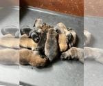 Small Dutch Shepherd Dog-Malinois Mix
