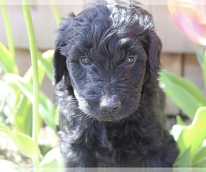 Goldendoodle Litter for sale in PUYALLUP, WA, USA