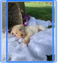 Labradoodle Litter for sale in CASSVILLE, MO, USA
