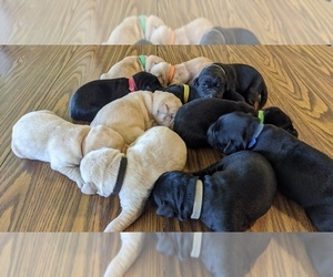 Labrador Retriever Litter for sale in ATHENS, WI, USA
