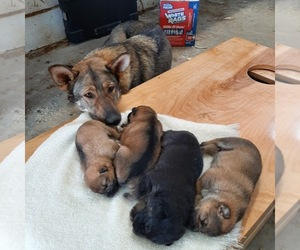 German Shepherd Dog Litter for sale in ALTA VISTA, IA, USA