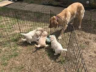 Goldendoodle Puppy For Sale near 30553, Lavonia, GA, USA