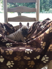 French Bulldog Litter for sale in MOORES HILL, IN, USA