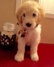Goldendoodle Litter for sale in VERMILION, OH, USA