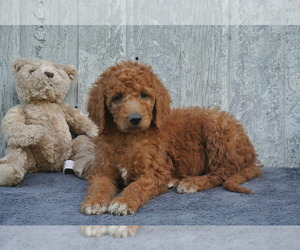 Goldendoodle Litter for sale in FREDERICKSBG, OH, USA
