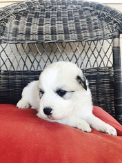Medium Great Pyrenees
