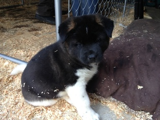 Akita Litter for sale in NEVADA CITY, CA, USA