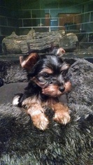 Yorkshire Terrier Litter for sale in NORMAN, OK, USA