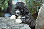 Pyredoodle Puppy For Sale in BOWLING GREEN, OH, USA