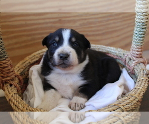 Border Collie Litter for sale in BROWNSVILLE, TN, USA