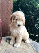 Goldendoodle Puppy For Sale in SENECA, SC, USA
