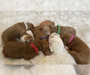 Poodle (Standard) Litter for sale in LIVERMORE, CA, USA