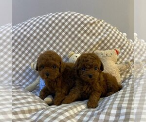 Poodle (Toy) Litter for sale in REDLANDS, CA, USA
