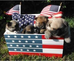 Pomeranian Litter for sale in SEBASTIAN, FL, USA