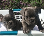 French Bulldog Puppy For Sale in ENCINO, CA, USA