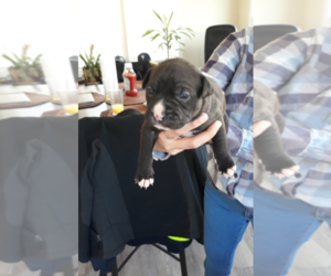 American Pit Bull Terrier Litter for sale in CECIL, NJ, USA