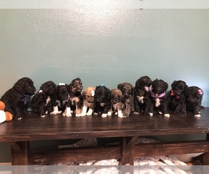 Pyredoodle Litter for sale in NIXA, MO, USA