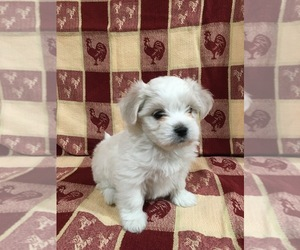 Mal-Shi-Shih Tzu Mix Litter for sale in HASTINGS, MI, USA