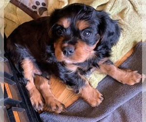 Cavalier King Charles Spaniel Litter for sale in THREE FORKS, MT, USA
