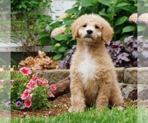 Poodle (Toy) Litter for sale in NAPPANEE, IN, USA