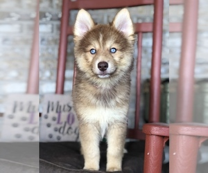Pomsky Litter for sale in ADOLPHUS, KY, USA