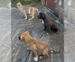 Small Bullypit-German Shepherd Dog Mix