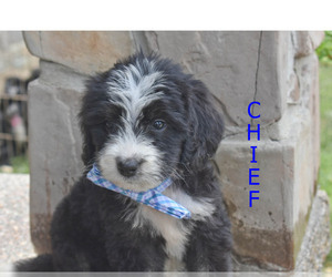 Bernedoodle Litter for sale in FLORA, IL, USA