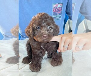 Labradoodle Litter for sale in BERLIN, NJ, USA