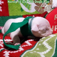 Dogo Argentino Litter for sale in PINEVILLE, MO, USA