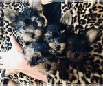 Yorkshire Terrier Puppy For Sale in ANTRIM, NH, USA