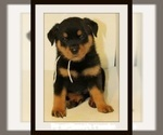 Rottweiler Puppy For Sale in N HIGHLANDS, CA, USA