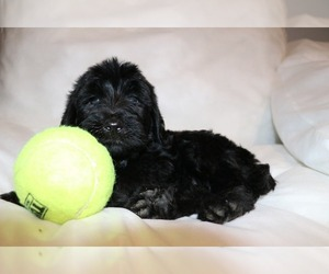 Labradoodle Litter for sale in ORLANDO, FL, USA