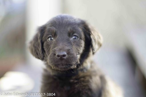 View Ad: Labradoodle Litter of Puppies for Sale near In Philippines