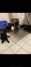 German Shepherd Dog Puppy For Sale in BRISTOL, VT, USA