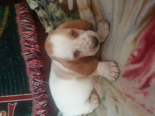 Basset Hound Litter for sale in DOWNING, MO, USA