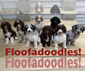 F2 Aussiedoodle Litter for sale in CHAPEL HILL, NC, USA