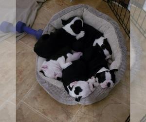 Boston Terrier Litter for sale in NORTH CHARLESTON, SC, USA