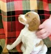 Brittany Puppy For Sale in TONOPAH, NV, USA