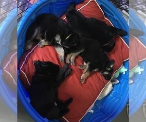 German Shepherd Dog Litter for sale in CASTLE CREEK, NY, USA