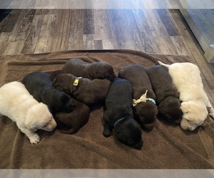 Labrador Retriever Litter for sale in MACOMB, MO, USA