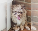 Pomeranian Puppy For Sale in LOUISVILLE, KY, USA